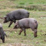 Proceso de inspección del cerdo ibérico