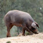 Inspecciones en la alimentación del cerdo ibérico