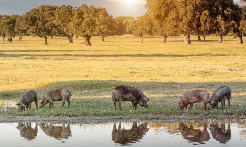 Inspecciones de la norma de calidad del cerdo ibérico